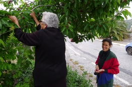 Picking cherries with Mrs Stella in Gerakari village.